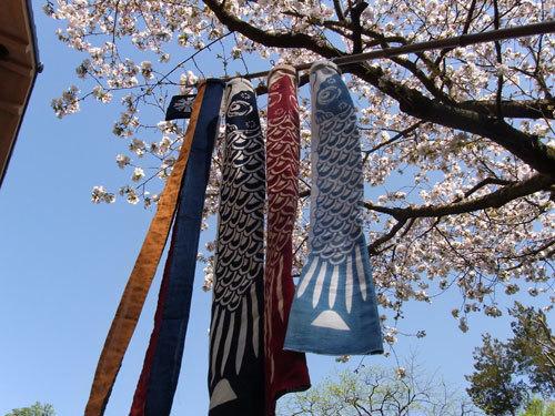 鯉のぼり:桜.jpg